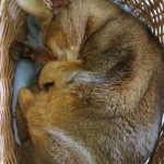 Ein kleines Osterhasenkänguru